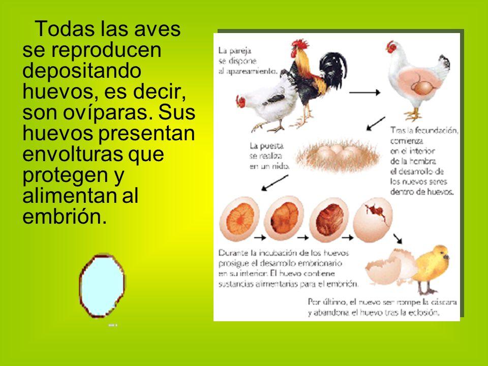 Todas las aves se reproducen depositando huevos, es decir, son ovíparas.
