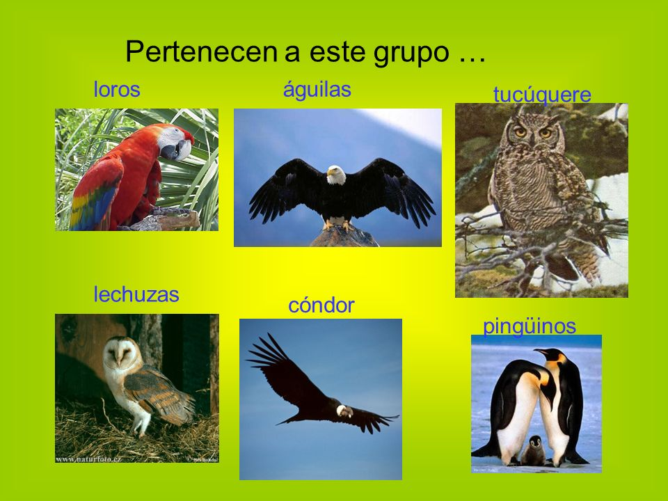 Pertenecen a este grupo … pingüinos loros águilas lechuzas cóndor tucúquere