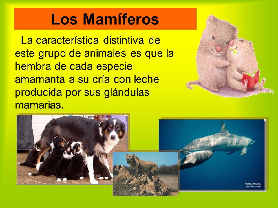 Los Mamíferos La característica distintiva de este grupo de animales es que la hembra de cada especie amamanta a su cría con leche producida por sus glándulas mamarias.