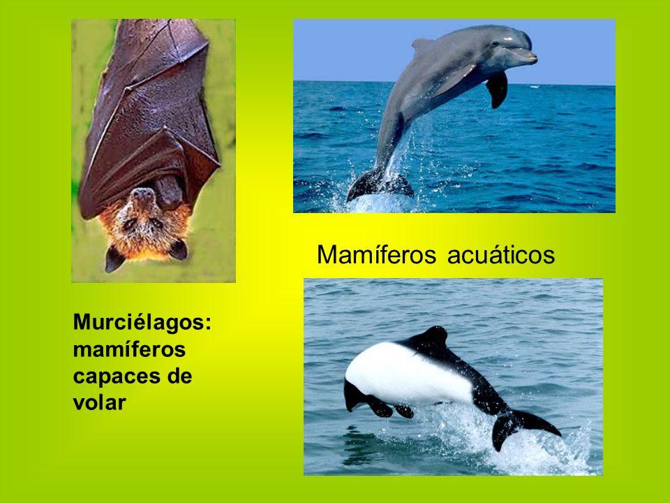 Murciélagos: mamíferos capaces de volar Mamíferos acuáticos