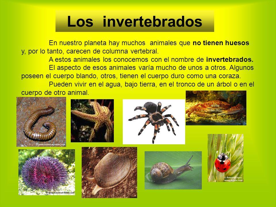 En nuestro planeta hay muchos animales que no tienen huesos y, por lo tanto, carecen de columna vertebral.