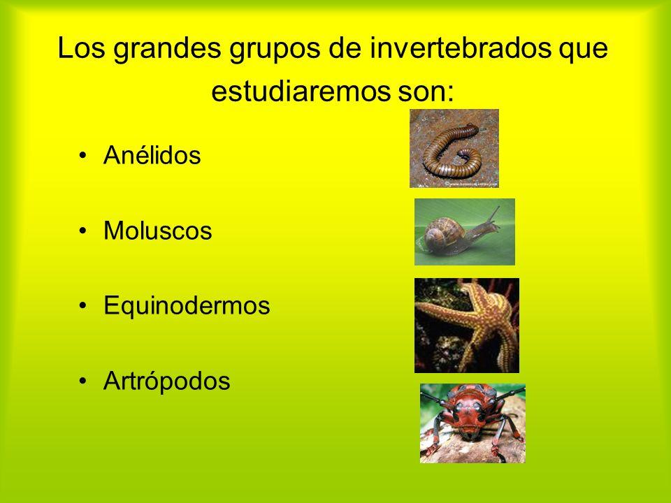 Los grandes grupos de invertebrados que estudiaremos son: Anélidos Moluscos Equinodermos Artrópodos