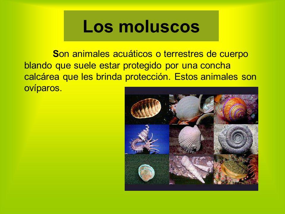 Son animales acuáticos o terrestres de cuerpo blando que suele estar protegido por una concha calcárea que les brinda protección.