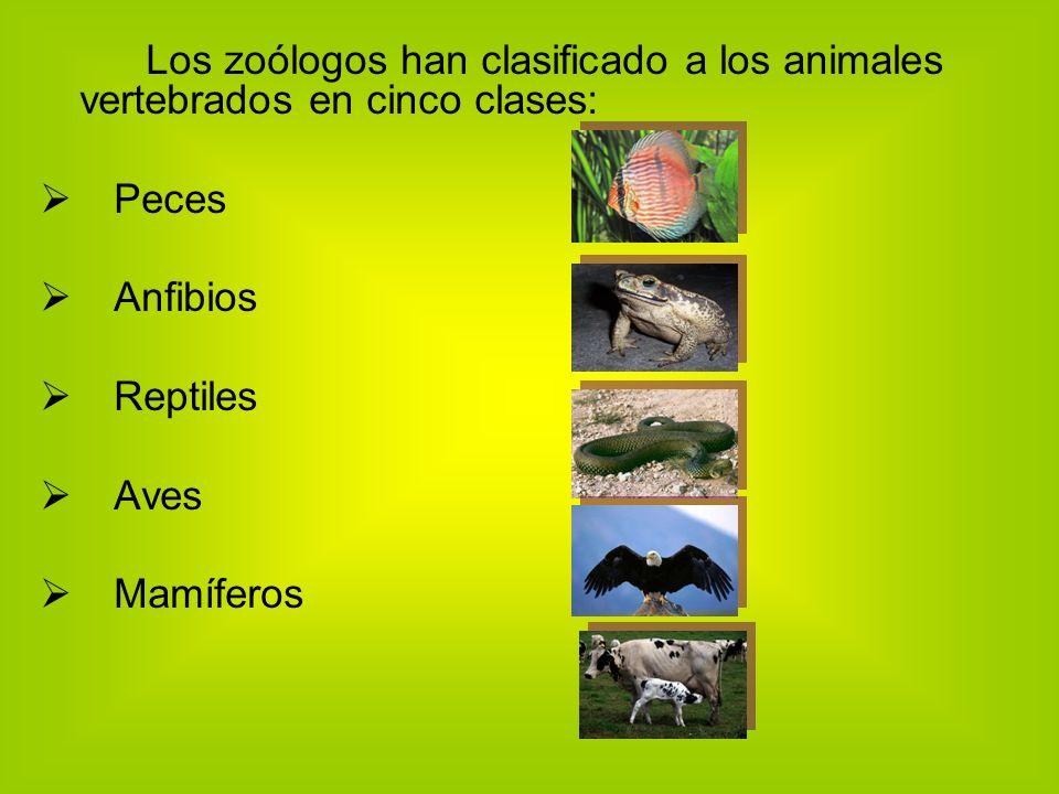 Los zoólogos han clasificado a los animales vertebrados en cinco clases: Peces Anfibios Reptiles Aves Mamíferos