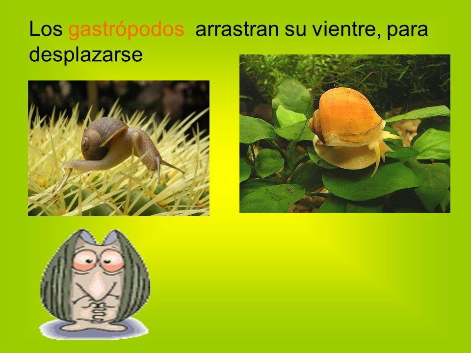 Los gastrópodos arrastran su vientre, para desplazarse