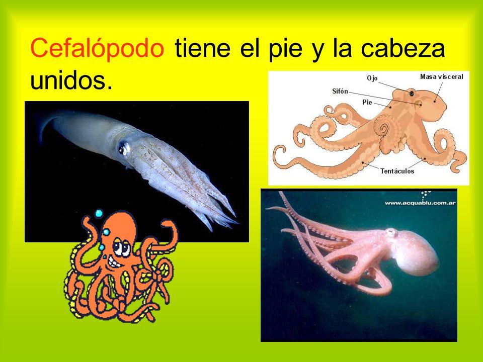 Cefalópodo tiene el pie y la cabeza unidos.