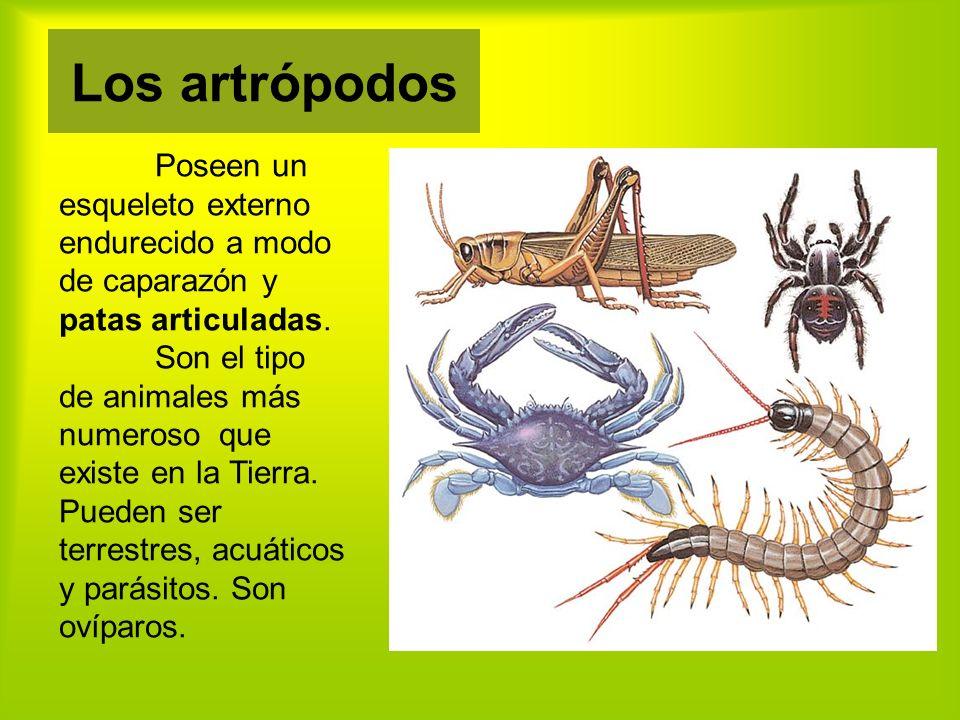 Poseen un esqueleto externo endurecido a modo de caparazón y patas articuladas.