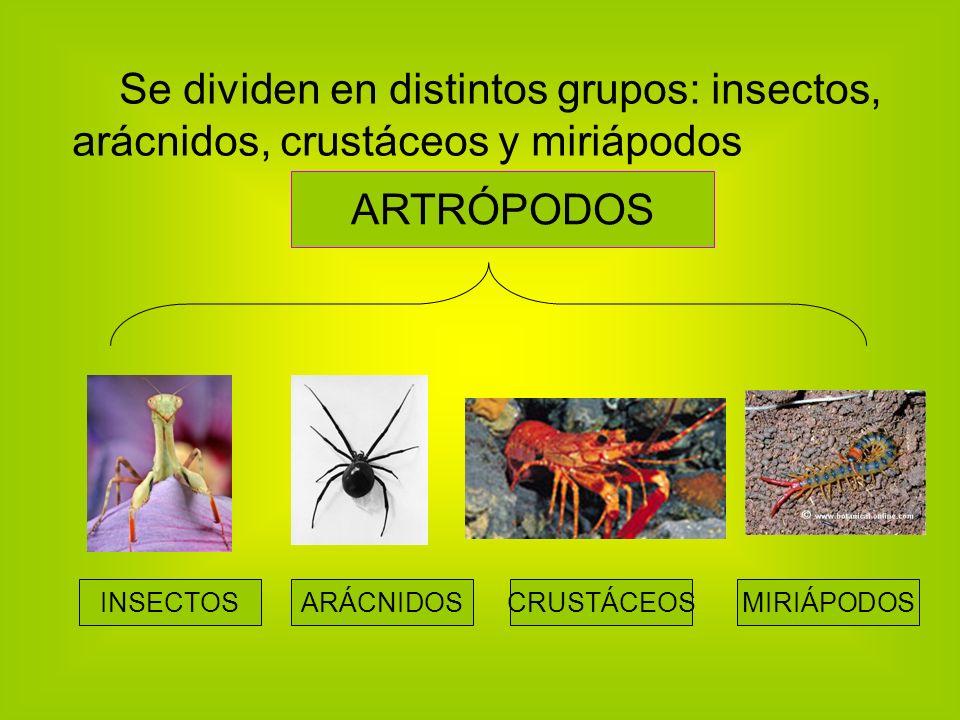 Se dividen en distintos grupos: insectos, arácnidos, crustáceos y miriápodos ARTRÓPODOS INSECTOSARÁCNIDOSCRUSTÁCEOSMIRIÁPODOS