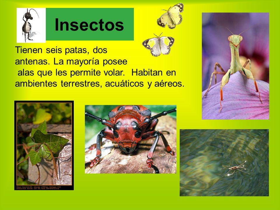 Tienen seis patas, dos antenas.La mayoría posee alas que les permite volar.