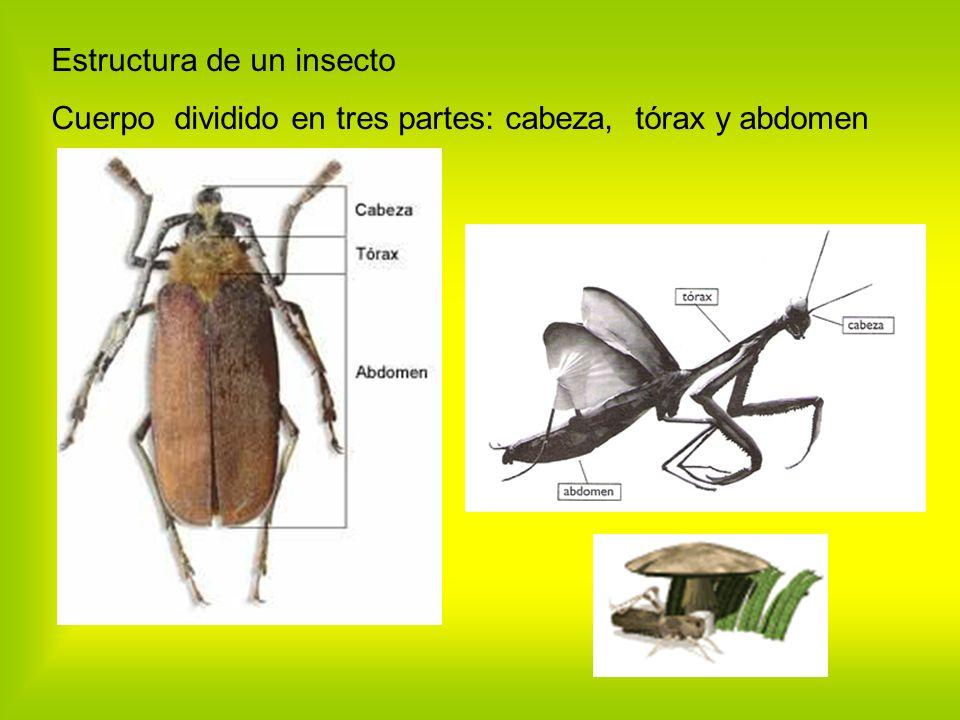 Estructura de un insecto Cuerpo dividido en tres partes: cabeza, tórax y abdomen