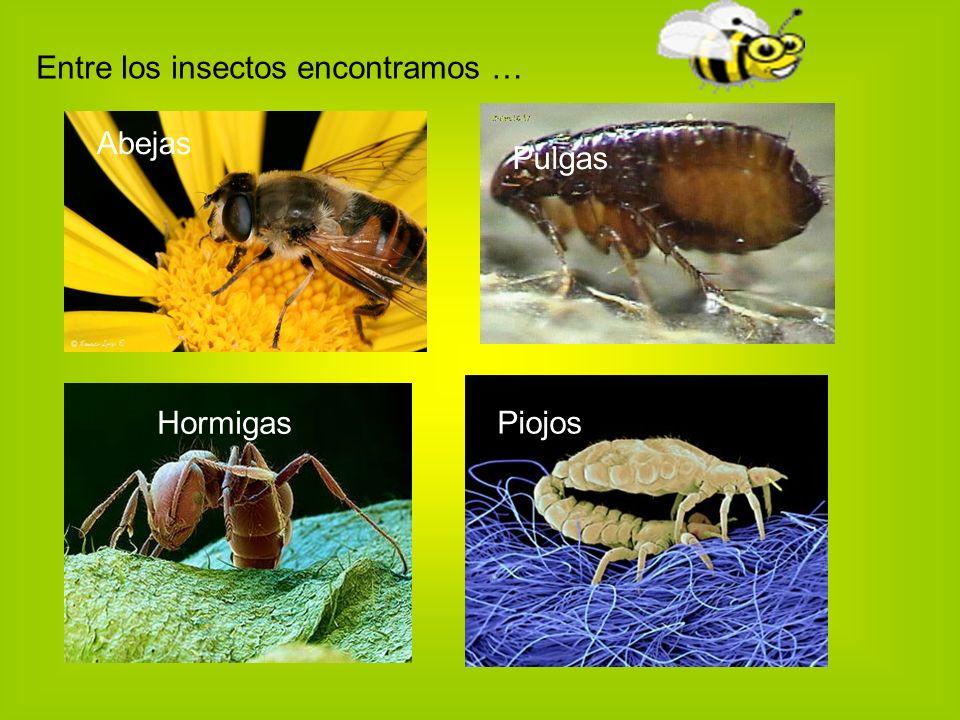 Entre los insectos encontramos … Abejas Hormigas Pulgas Piojos