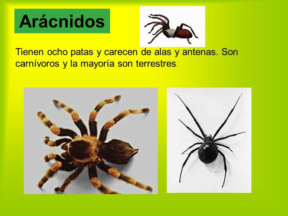 Tienen ocho patas y carecen de alas y antenas.Son carnívoros y la mayoría son terrestres.