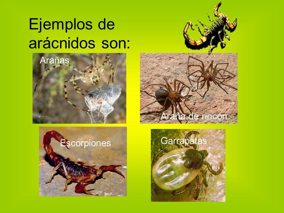 Ejemplos de arácnidos son: Arañas Araña de rincón Escorpiones Garrapatas