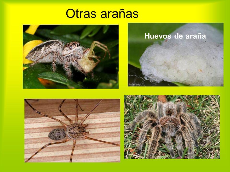 Otras arañas Huevos de araña