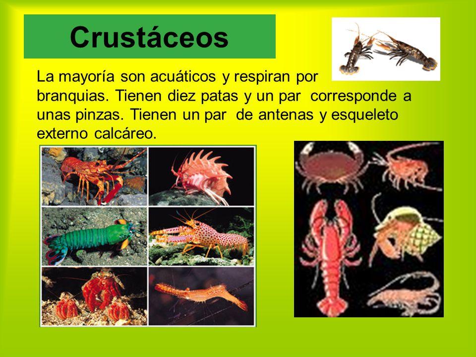 La mayoría son acuáticos y respiran por branquias.