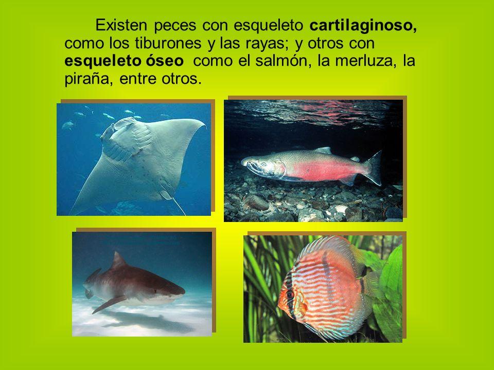 Existen peces con esqueleto cartilaginoso, como los tiburones y las rayas; y otros con esqueleto óseo como el salmón, la merluza, la piraña, entre otros.