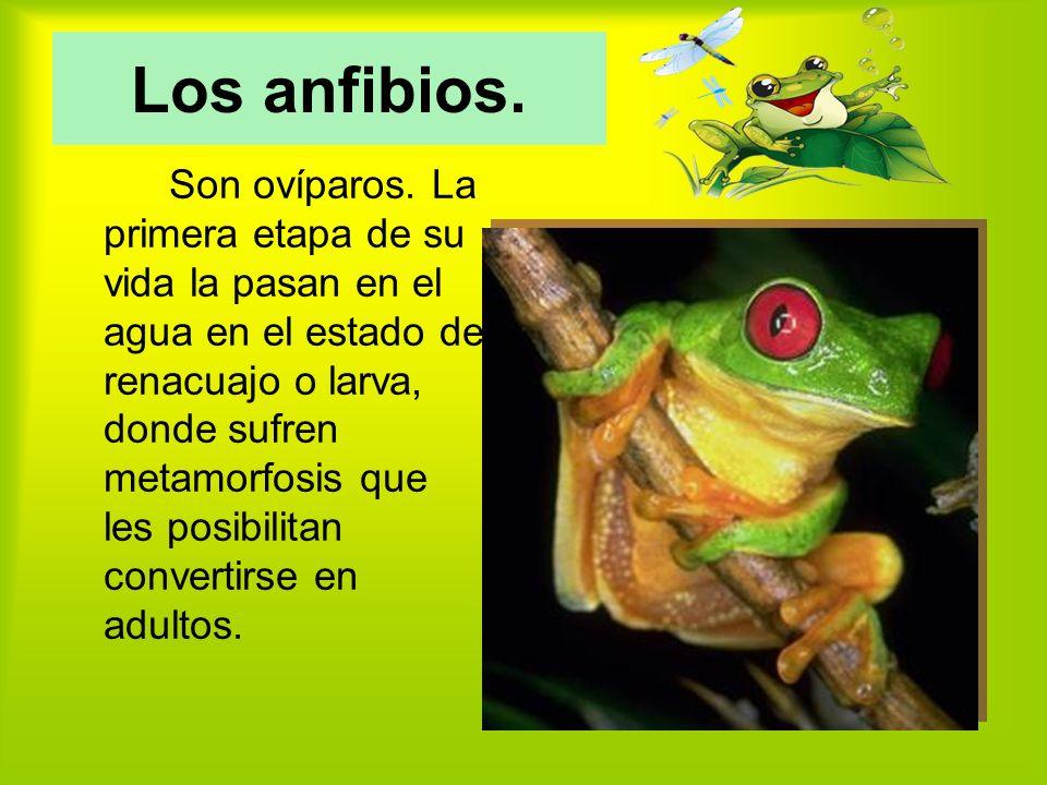 Los anfibios.Son ovíparos.