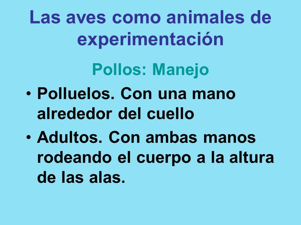 Las aves como animales de experimentación Pollos: Manejo Polluelos. Con una mano alrededor del cuello Adultos. Con ambas manos rodeando el cuerpo a la