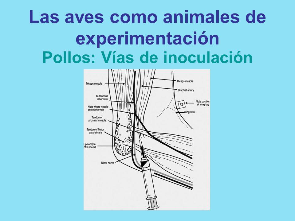 Las aves como animales de experimentación Pollos: Vías de inoculación