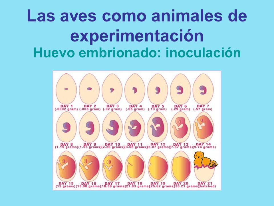 Las aves como animales de experimentación Huevo embrionado: inoculación