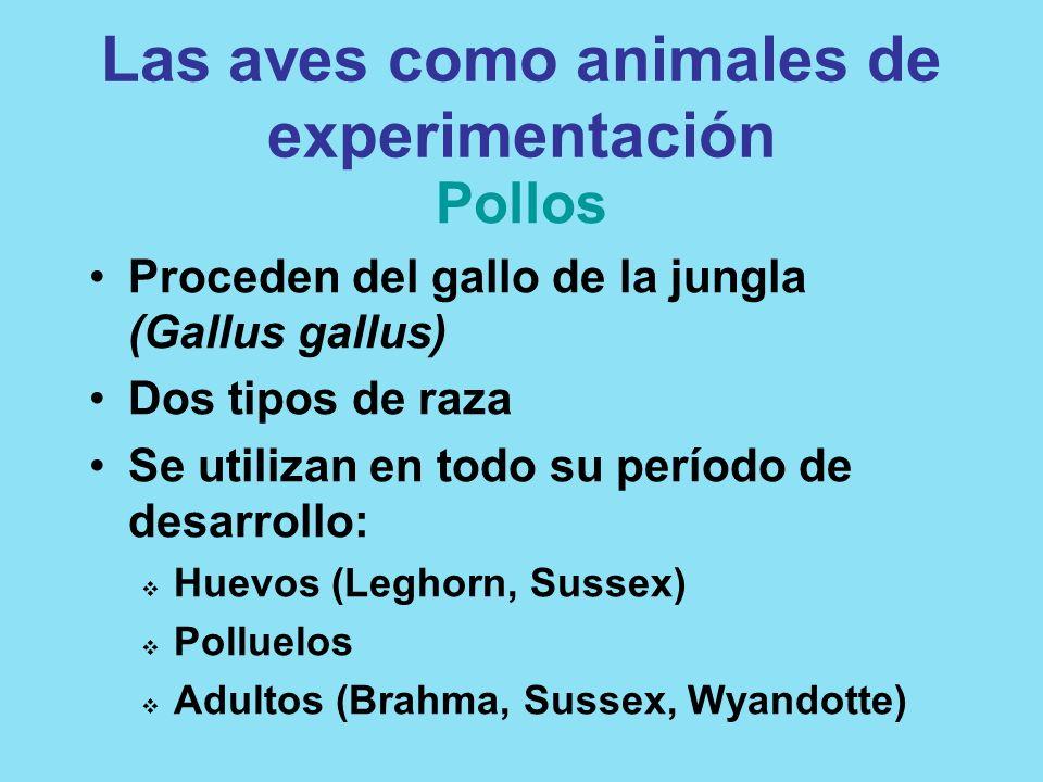 Las aves como animales de experimentación Pollos Proceden del gallo de la jungla (Gallus gallus) Dos tipos de raza Se utilizan en todo su período de d