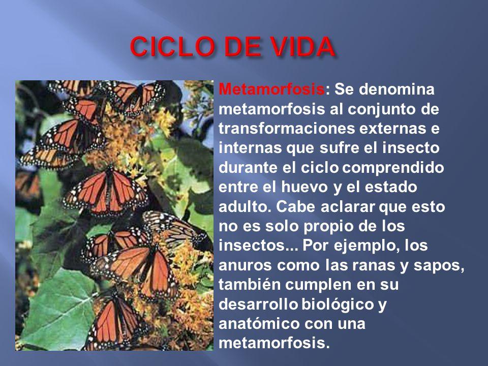Metamorfosis: Se denomina metamorfosis al conjunto de transformaciones externas e internas que sufre el insecto durante el ciclo comprendido entre el huevo y el estado adulto.