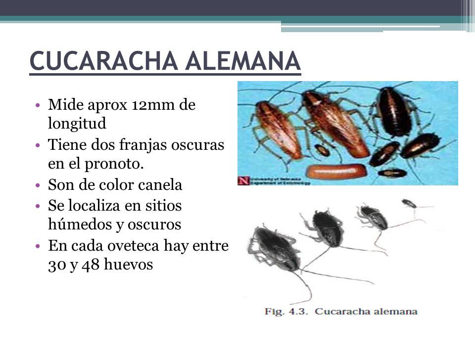 CUCARACHA ALEMANA Mide aprox 12mm de longitud Tiene dos franjas oscuras en el pronoto. Son de color canela Se localiza en sitios húmedos y oscuros En
