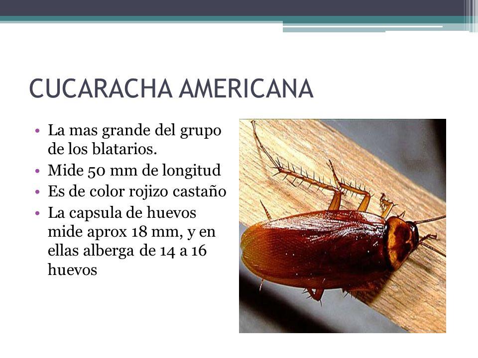 CUCARACHA AMERICANA La mas grande del grupo de los blatarios. Mide 50 mm de longitud Es de color rojizo castaño La capsula de huevos mide aprox 18 mm,