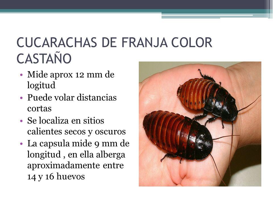 CUCARACHAS DE FRANJA COLOR CASTAÑO Mide aprox 12 mm de logitud Puede volar distancias cortas Se localiza en sitios calientes secos y oscuros La capsul