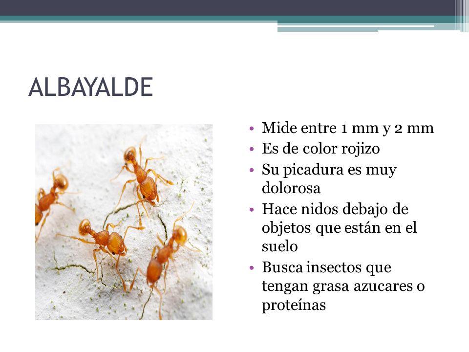ALBAYALDE Mide entre 1 mm y 2 mm Es de color rojizo Su picadura es muy dolorosa Hace nidos debajo de objetos que están en el suelo Busca insectos que