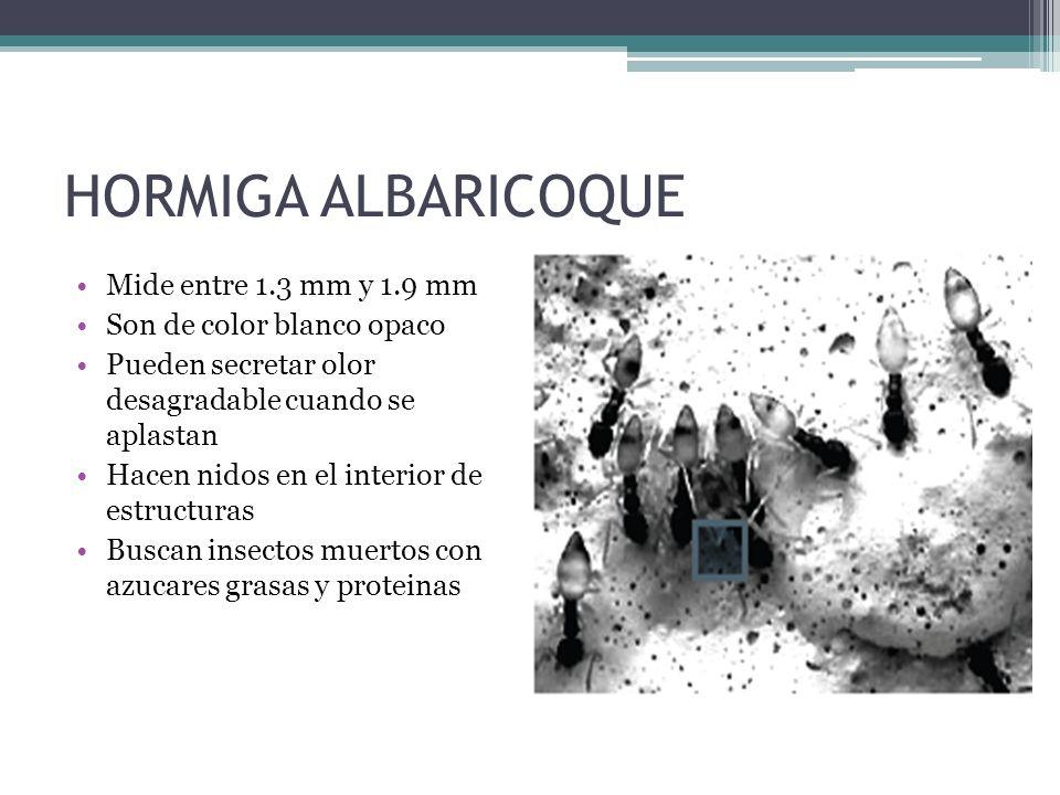 HORMIGA ALBARICOQUE Mide entre 1.3 mm y 1.9 mm Son de color blanco opaco Pueden secretar olor desagradable cuando se aplastan Hacen nidos en el interi