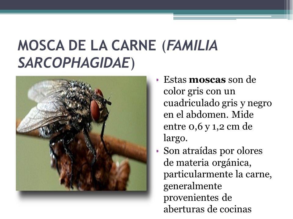 MOSCA DE LA CARNE (FAMILIA SARCOPHAGIDAE) Estas moscas son de color gris con un cuadriculado gris y negro en el abdomen. Mide entre 0,6 y 1,2 cm de la