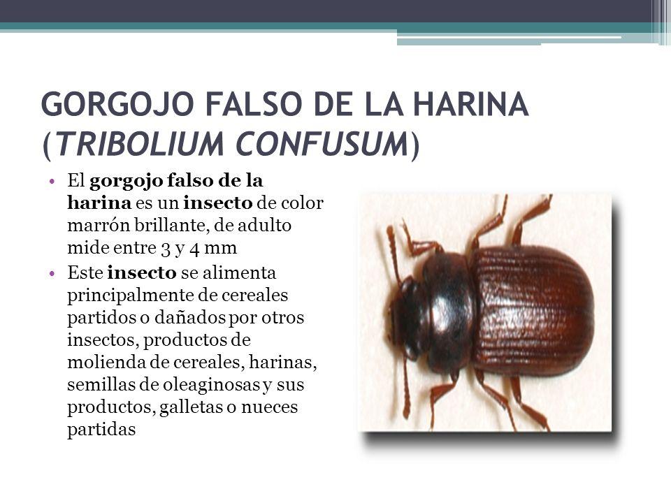 GORGOJO FALSO DE LA HARINA (TRIBOLIUM CONFUSUM) El gorgojo falso de la harina es un insecto de color marrón brillante, de adulto mide entre 3 y 4 mm E