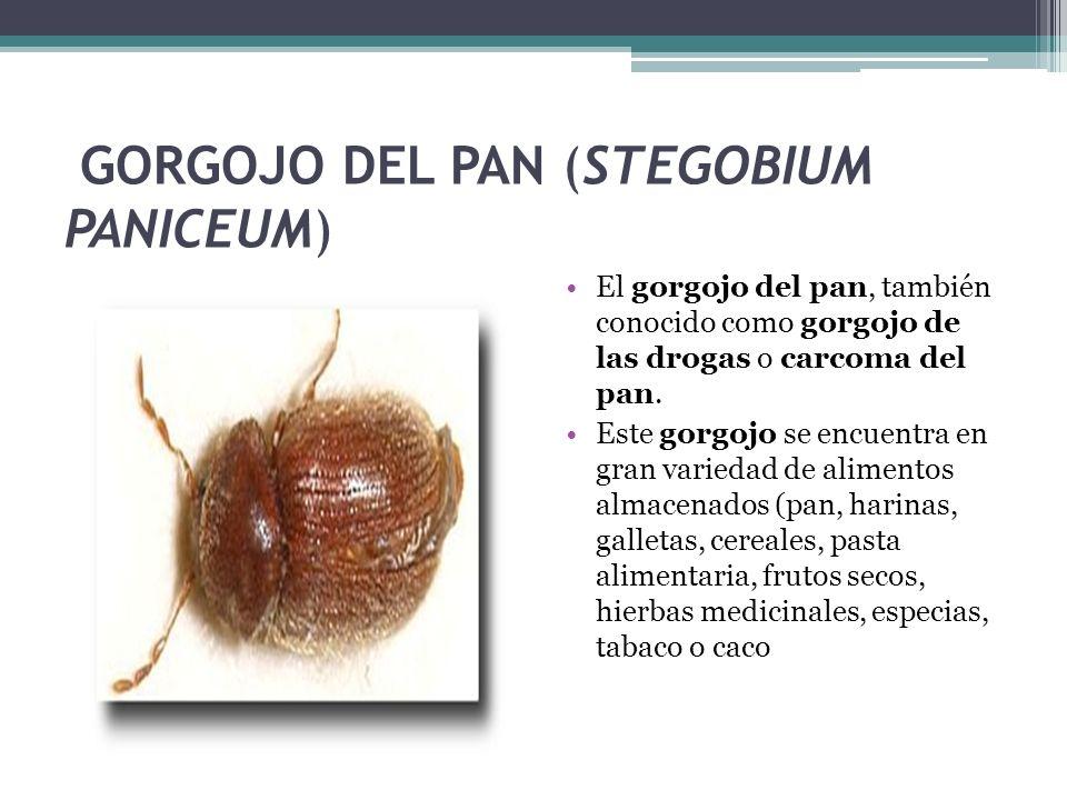 GORGOJO DEL PAN (STEGOBIUM PANICEUM) El gorgojo del pan, también conocido como gorgojo de las drogas o carcoma del pan. Este gorgojo se encuentra en g