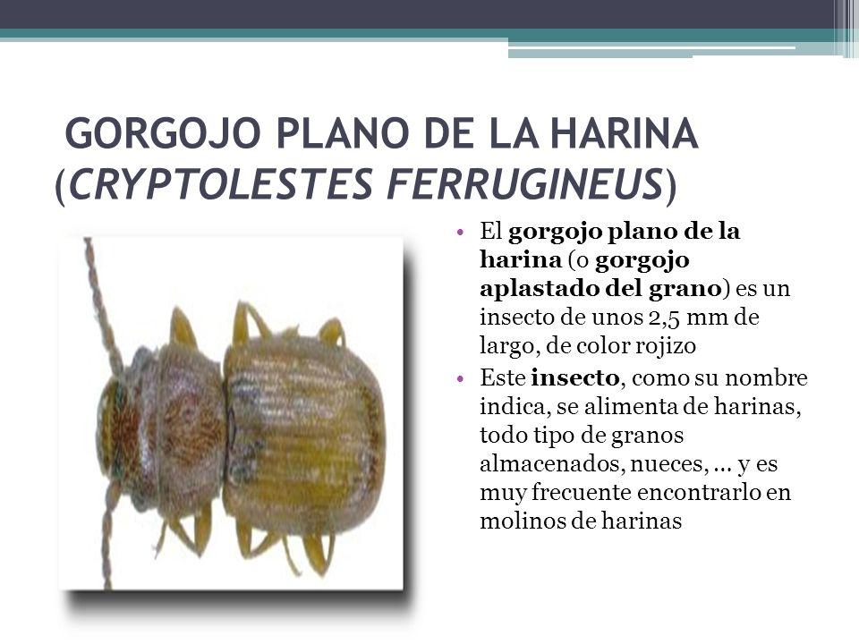 GORGOJO PLANO DE LA HARINA (CRYPTOLESTES FERRUGINEUS) El gorgojo plano de la harina (o gorgojo aplastado del grano) es un insecto de unos 2,5 mm de la