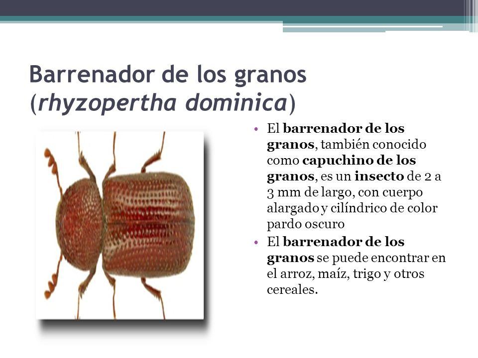 Barrenador de los granos (rhyzopertha dominica) El barrenador de los granos, también conocido como capuchino de los granos, es un insecto de 2 a 3 mm