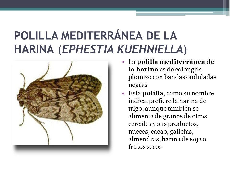 POLILLA MEDITERRÁNEA DE LA HARINA (EPHESTIA KUEHNIELLA) La polilla mediterránea de la harina es de color gris plomizo con bandas onduladas negras Esta