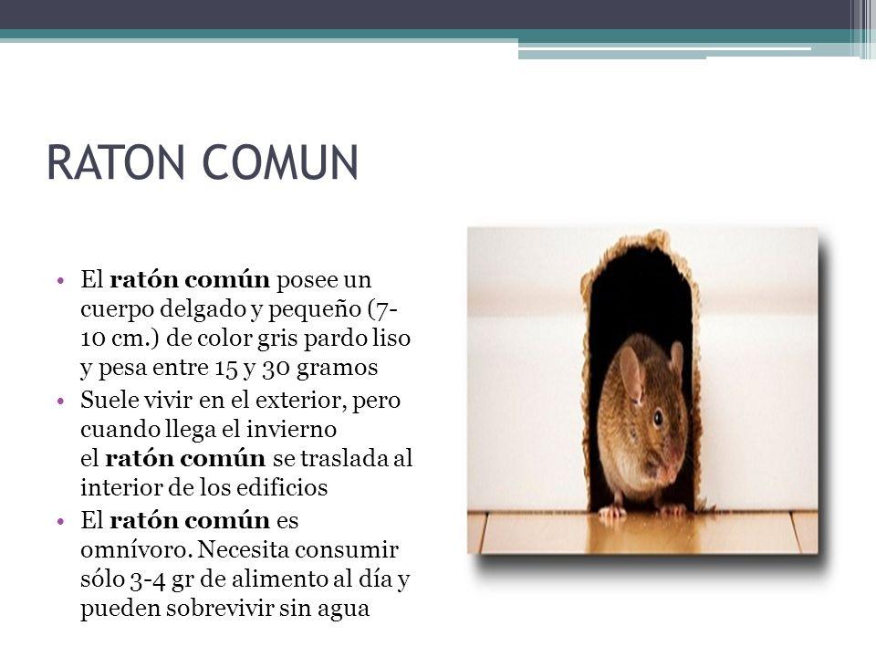RATON COMUN El ratón común posee un cuerpo delgado y pequeño (7- 10 cm.) de color gris pardo liso y pesa entre 15 y 30 gramos Suele vivir en el exteri