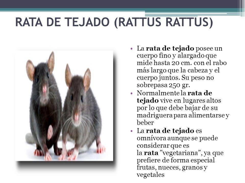 RATA DE TEJADO (RATTUS RATTUS) La rata de tejado posee un cuerpo fino y alargado que mide hasta 20 cm. con el rabo más largo que la cabeza y el cuerpo