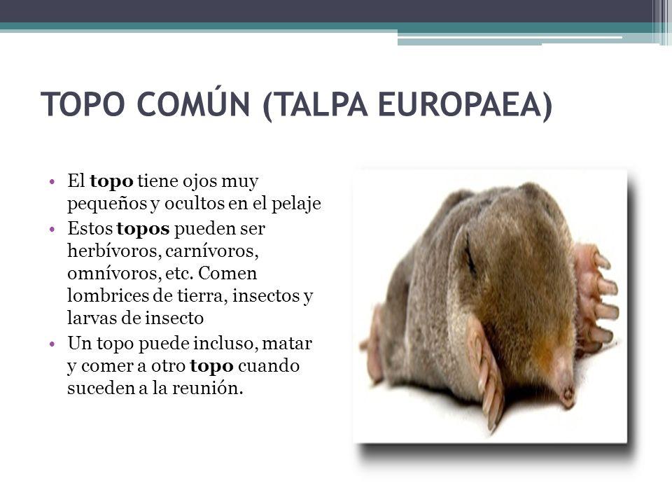 TOPO COMÚN (TALPA EUROPAEA) El topo tiene ojos muy pequeños y ocultos en el pelaje Estos topos pueden ser herbívoros, carnívoros, omnívoros, etc. Come