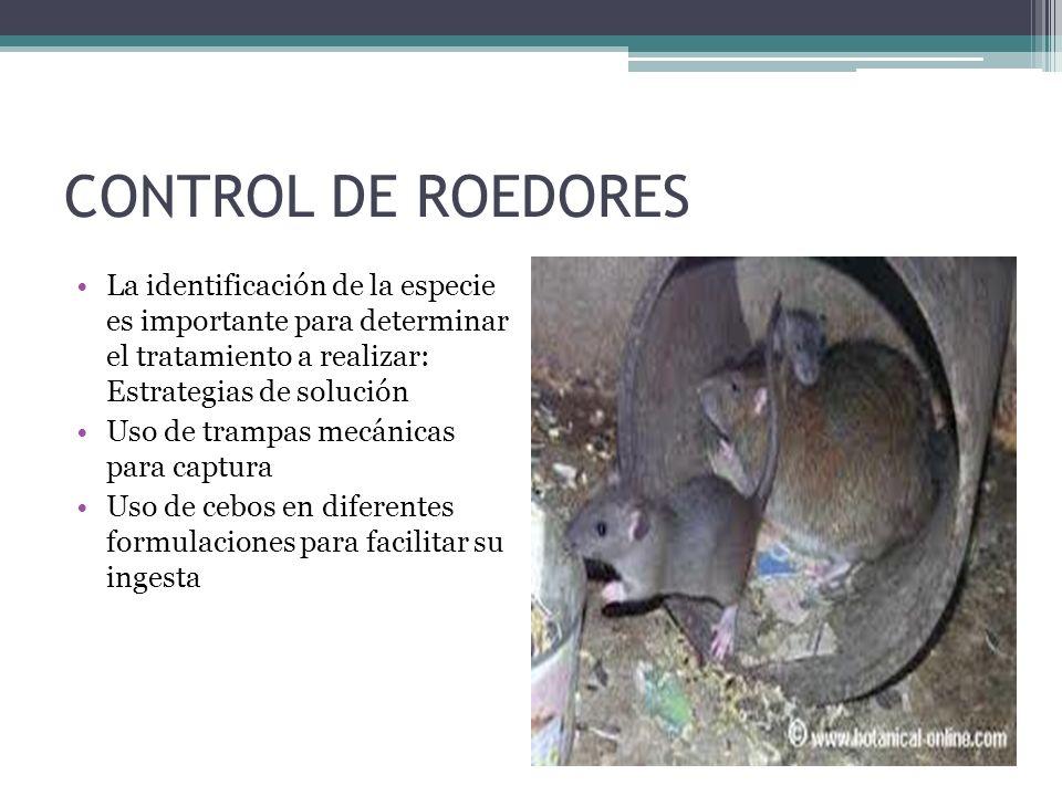 CONTROL DE ROEDORES La identificación de la especie es importante para determinar el tratamiento a realizar: Estrategias de solución Uso de trampas me