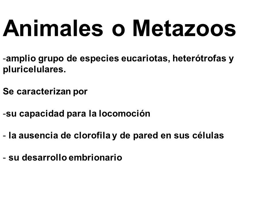 Animales o Metazoos -amplio grupo de especies eucariotas, heterótrofas y pluricelulares.