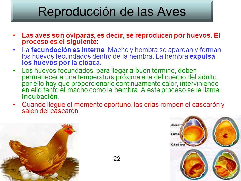 Reproducción de las Aves Las aves son ovíparas, es decir, se reproducen por huevos.