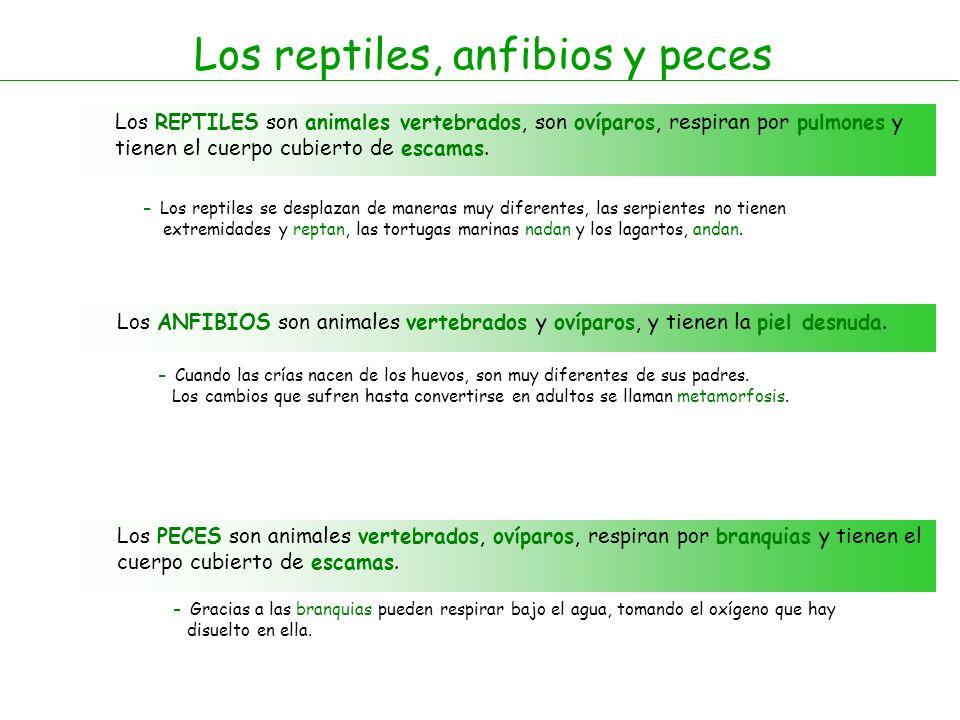 Los reptiles, anfibios y peces Los REPTILES son animales vertebrados, son ovíparos, respiran por pulmones y tienen el cuerpo cubierto de escamas.