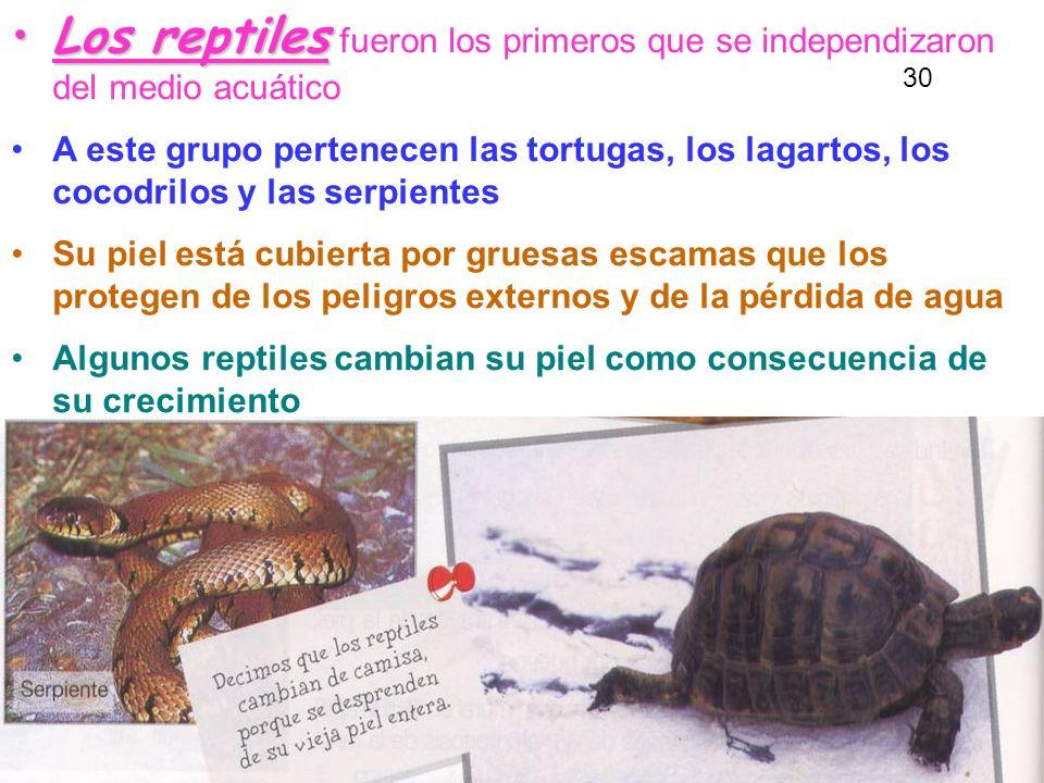 Los reptilesLos reptiles fueron los primeros que se independizaron del medio acuático A este grupo pertenecen las tortugas, los lagartos, los cocodrilos y las serpientes Su piel está cubierta por gruesas escamas que los protegen de los peligros externos y de la pérdida de agua Algunos reptiles cambian su piel como consecuencia de su crecimiento 30