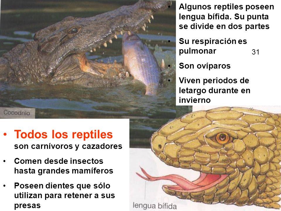 Todos los reptiles son carnívoros y cazadores Comen desde insectos hasta grandes mamíferos Poseen dientes que sólo utilizan para retener a sus presas Algunos reptiles poseen lengua bífida.