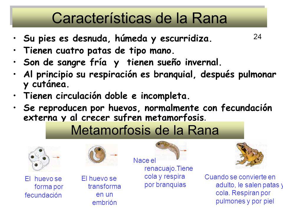 Características de la Rana Su pies es desnuda, húmeda y escurridiza.