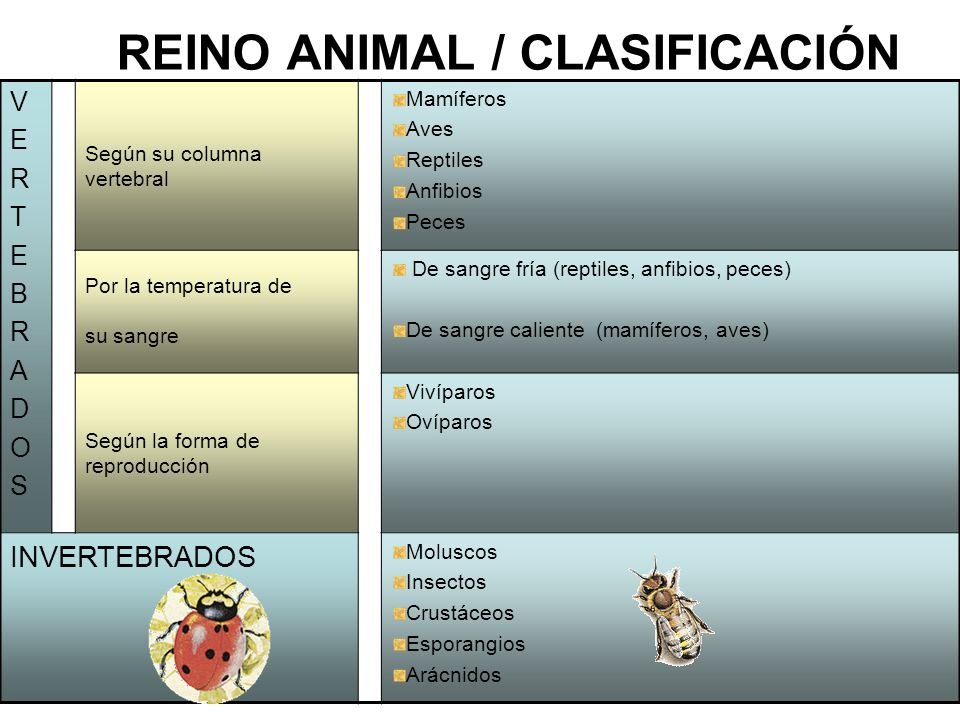 2 REINO ANIMAL / CLASIFICACIÓN VERTEBRADOSVERTEBRADOS Según su columna vertebral Mamíferos Aves Reptiles Anfibios Peces Por la temperatura de su sangre De sangre fría (reptiles, anfibios, peces) De sangre caliente (mamíferos, aves) Según la forma de reproducción Vivíparos Ovíparos INVERTEBRADOS Moluscos Insectos Crustáceos Esporangios Arácnidos