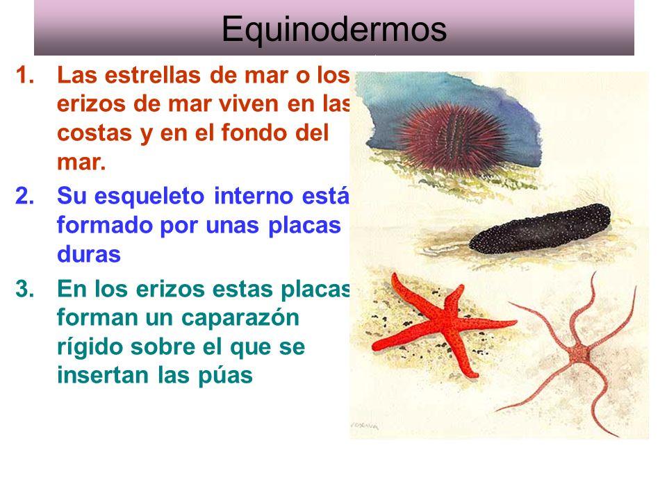 Equinodermos 1.Las estrellas de mar o los erizos de mar viven en las costas y en el fondo del mar.