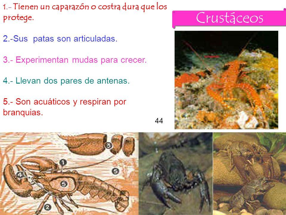 Crustáceos 1.- Tienen un caparazón o costra dura que los protege.